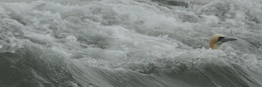cropped-gannet-cartlett-lady-trip-29-5-14.jpg