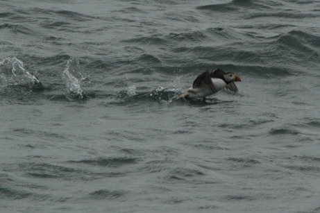 Puffin - Cartlett Lady trip 29.5.14