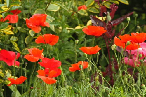 Poppies - St Richard_edited-1