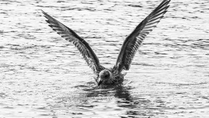 Herring Gull Skokholm April 2016-1