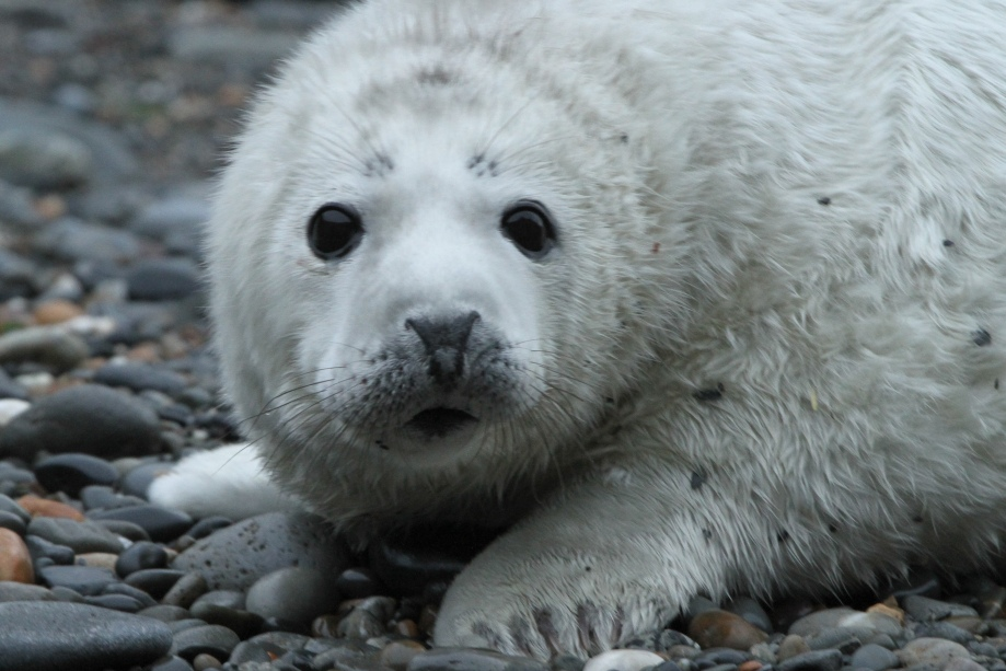 seal-pup-trefin-1-1