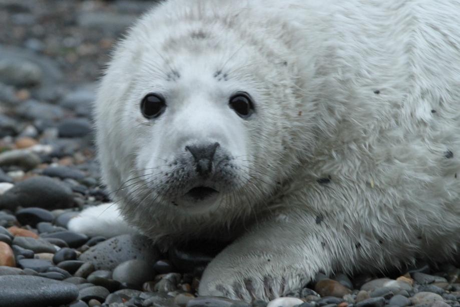 Seal Pup - Trefin 1-1